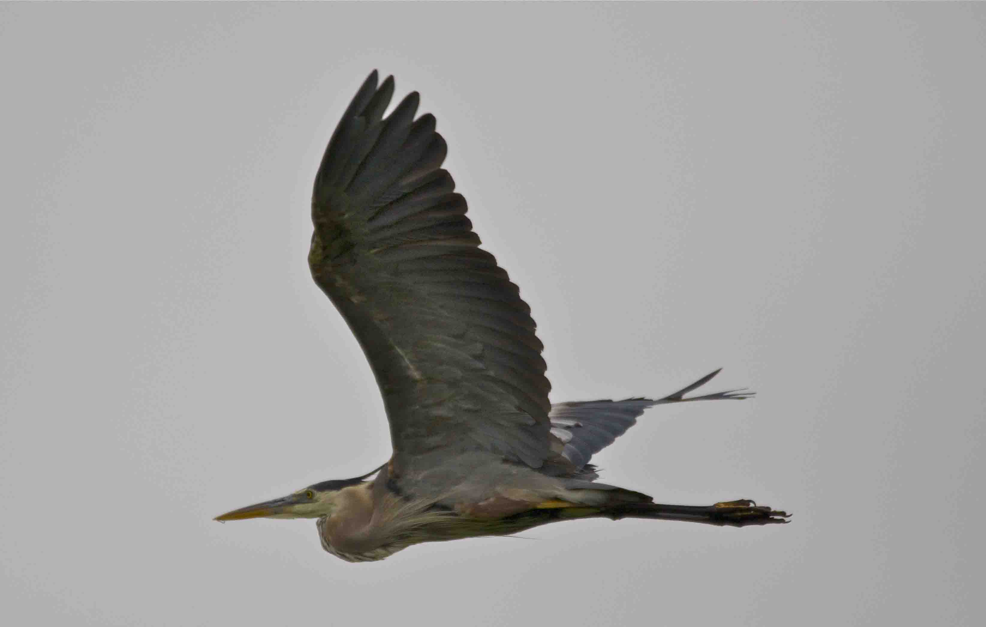 SM Flying Heron